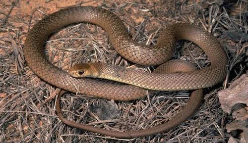 Eastern Brown - the second most venomous snake