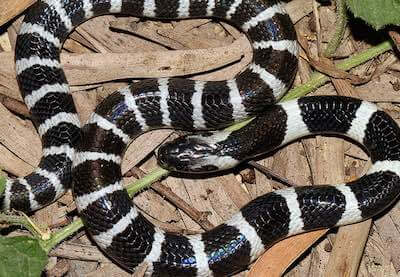 Many-Banded Krait - the forth most venomous snake