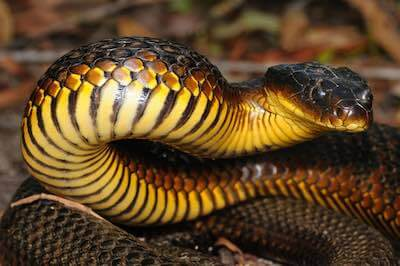 Tiger Snake - the fifth most venomous snake