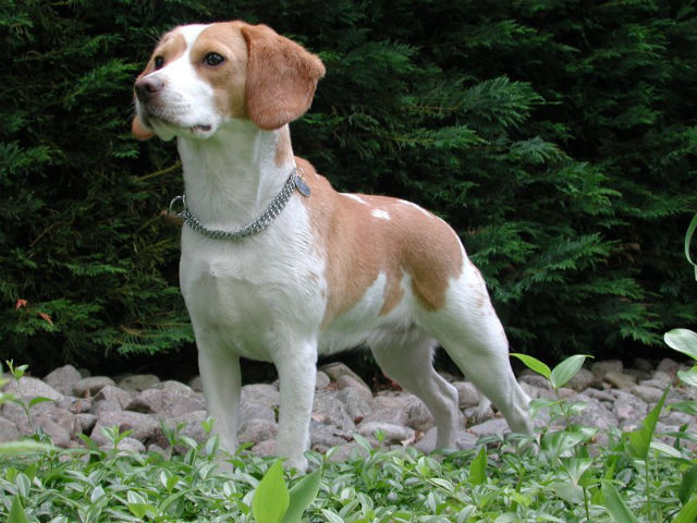 Beagle - Most Popular Dog Breeds