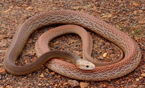 Coastal Taipan - the third most venomous snake