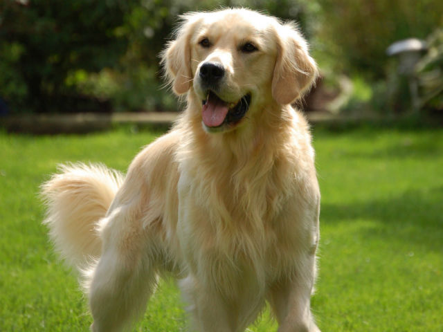 Golden Retriever - Most Popular Dog Breeds